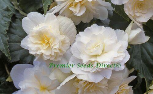 FLOWER BEGONIA TUBEROUS ILLUMINATION WHITE F1 15 PELLETS