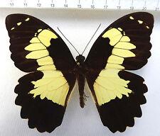 Papilio euchenor ssp.euchenor male ex Nabire, Irian Jaja, Indonesien n242