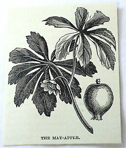 1886-small-magazine-engraving-MAY-APPLE-PLANT-flowering-amp-leaves-illustration