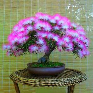 20-Albizia-Julibrissin-Tree-Seeds-Mixed-Acacia-Mimosa-Rare-Flowers-Home-Bonsai