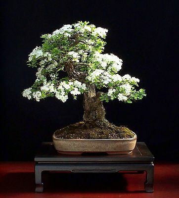 BONSAI SOW ALL YEAR 45 seeds TATARIAN HONEYSUCKLE Lonicera tatarica