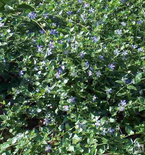 Pflanzen für den Garten 30 VINCA MAJOR BODENDECKER STECKLINGE IMMERGRÜN