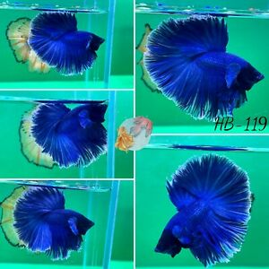 (HB-119) Blue Diamond Halfmoon-Live Halfmoon Betta Fish High Quality