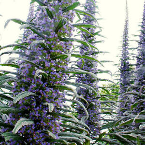 3-x-Tree-Echium-pininana-Bue-Wildlife-Pollinator-Plant-Bees-Beneficial-insects