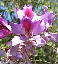 Orchid Tree, Bauhinia, Variegata, SEEDS 10 pcs per pack
