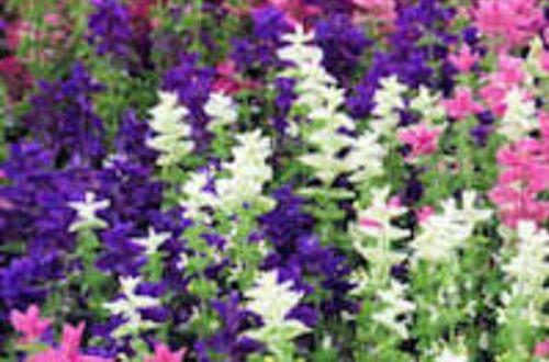Clary Sage Tri Colour Mix 25 seeds