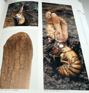An-Illustrated-Guide-to-Ecology-of-Japanese-Cordyceps-book-from-Japan-0961