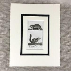 1791-Original-Antique-Print-Hamster-Squirrel-18th-Century-Buffon-Natural-History