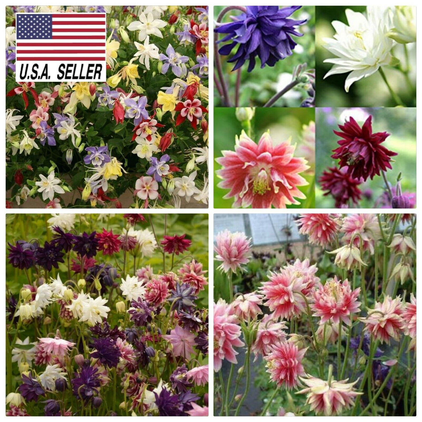 25 COLUMBINE AQUILEGIA GRANNYS LACE BONNETS FLOWER SEEDS PERENNIAL