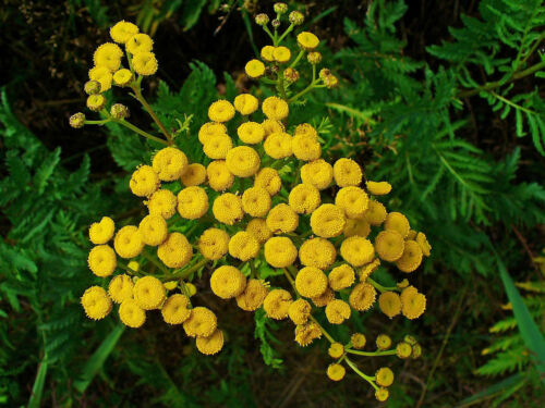 u.Färberpflanze Schnittstaude 500 Samen Rainfarn Tanacetum vulgare Heil