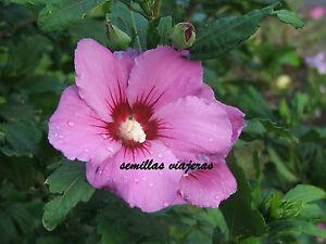 Hibiscus-syriacus-mauve-hibisco-malva-50-semillas-seeds-graines-samen