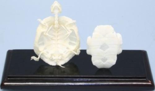 Espécimen Espécimen Espécimen de tortuga Esqueleto Articulado Pantalla de base de madera cubierta de acrílico educativo  ¡No dudes! ¡Compra ahora!