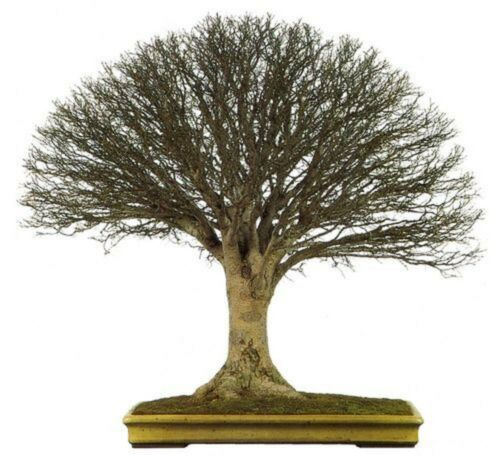 500 Graines Zelkova du Japon Zelkova serrata Tree seeds