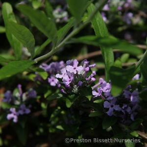 Buddleia-Alternifolia-Weeping-Butterfly-Bush-3-litre-pot