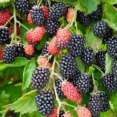 Blackberry Seeds - GIANT LOCH NESS - Rare - Huge Berries - Gmo Free - 25 Seeds