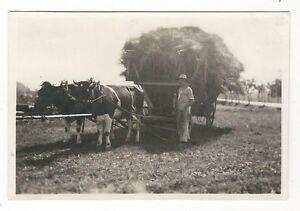 7-351-FOTO-BAUER-LANDWIRT-1933-HEU-FUHRE-KUHE-LEITERWAGEN-GESPANN