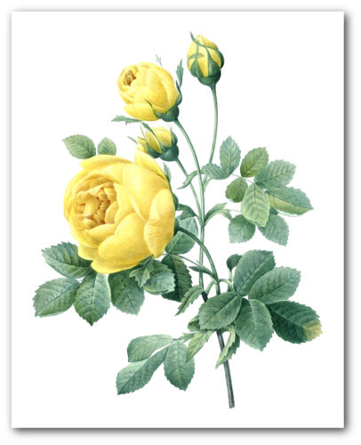Unframed Flower Print Botanical Yellow Rose Art 8 x 10 Inches