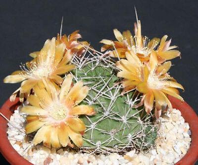 Echinopsis ssp rossii lobivia exotic flowering flower cactus rare seed 50 SEEDS
