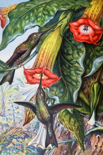 Hummingbird Pollinating Angels Trumpets Brugmansia Victorian Poster 12x18