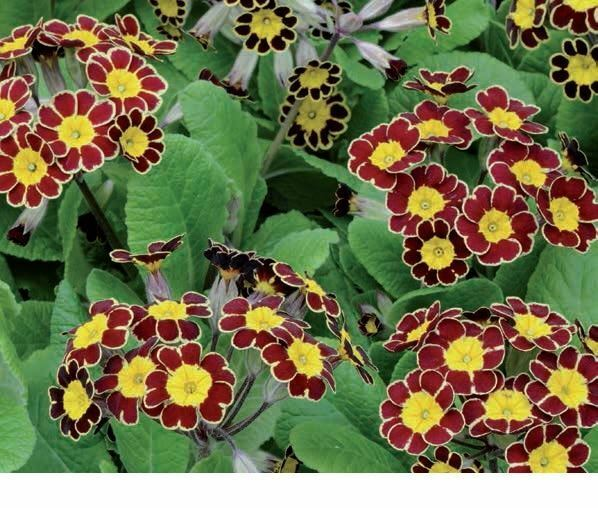 Flower - Polyanthus (Primula) - Victoriana Gold Lace - 20 Seeds