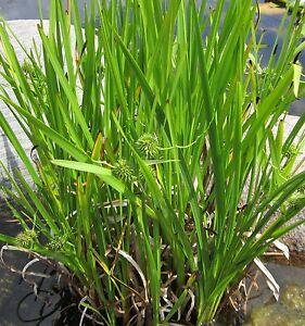Hasenschwanz Gras Bunny Tails kompakt wachsend Ziergras ca 60 Samen