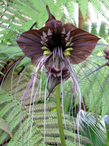 je 6 Samen 12 Samen TACCA Fledermausblume im Mix Weiss Teufelsblume Schwarz