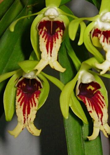 Vanda cristata /'Big Bloody Lip/' Hybride NEW parfum orchidée orchidées