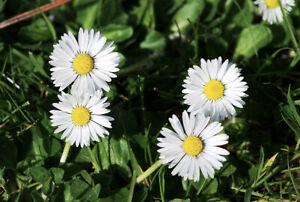 2500-Samen-Bellis-perennis-Tausendschoenchen-Gaensebluemchen-wildform