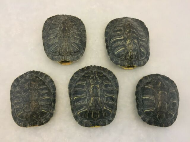 Real Turtle Shell 5-6 inch Long Carapace Taxidermy Red Eared Slider