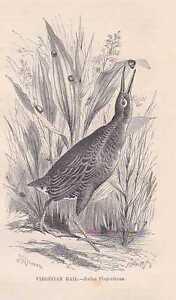 Rallen-Rallidae-Rallus-limicola-Virginia-rail-Holzstich-von-1862