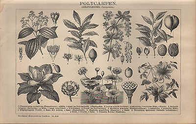 100% QualitäT Lithografie 1903 Polycarpen. (dikotyledonen: Choripetalen.) Zimmt-baum Lorbeer Mild And Mellow