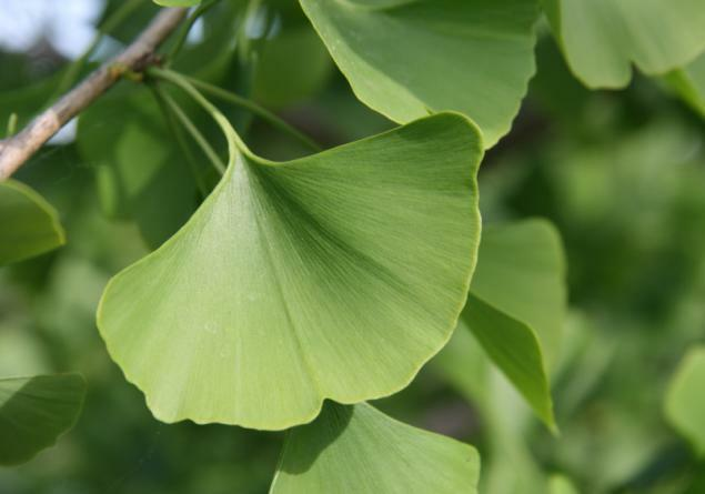 Ginkgo Tree - Maidenhair - Established Roots - 1 Gallon Trade Pot - 1 Plant