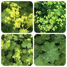 Frauenmantel Alchemilla xanthochlora Heilpflanze gg. Frauenleiden Teepflanze