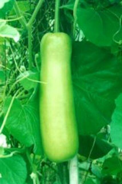 Uk Bottle Gourd Lagenaria Siceraria Lauki Dudhi Bangla Lau For Sale Online Ebay