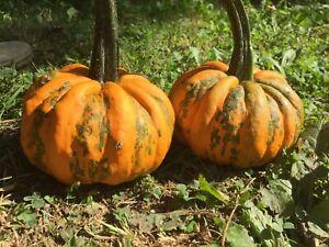 courge//calabaza//squash Kamo Kamo 20 graines//seeds//semillas