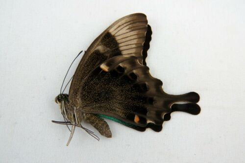 Not Spread Papilio peranthus green swallowtail butterfly Taxidermy REAL Insect