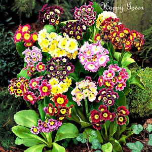 Polyanthus-Primrose-oro-Encaje-Mix-150-semillas-Primula-contactarles-pubescens
