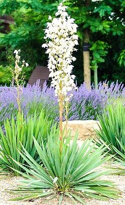 RARE YUCCA FILAMENTOSA @ Adam's needle agave garden aloe flowering seed 15 SEEDS