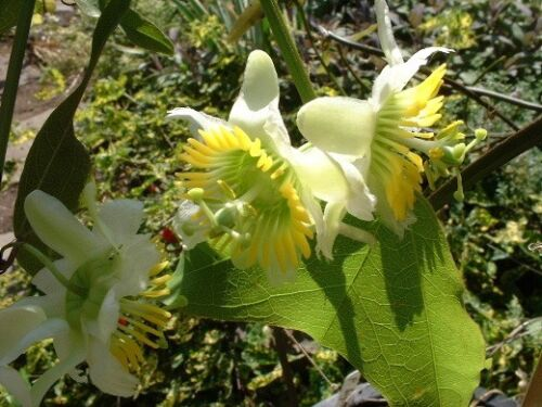 ~ Passiflora Biflora ~ The Two-Flowered Passion Flower ~ Rare Seeds