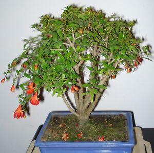 Zimmerpflanze-Bonsai-i-GRANAT-APFEL-BAUM-i-Wintergarten-Balkon-Terrasse-Exot
