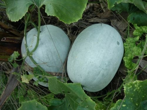 WAX GOURD White or Green or Hairy Skin Fuzzy Winter Melon Oblong Ash Seeds