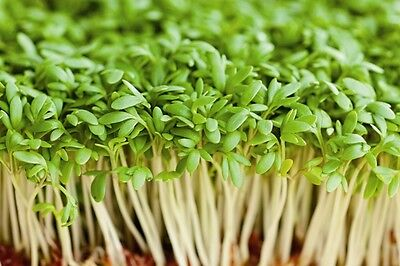 Salad - Cress - Common / Plain  - 60g / 20000 Seeds - Sprouting Vegetable