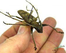 Long horn beetle Acalolepta australis orientalis SET x1 PNG scarce bug TY02