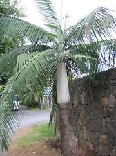 100x Palmen Samen Dictyosperma album (Hurrikanpalme) nicht Winterhart