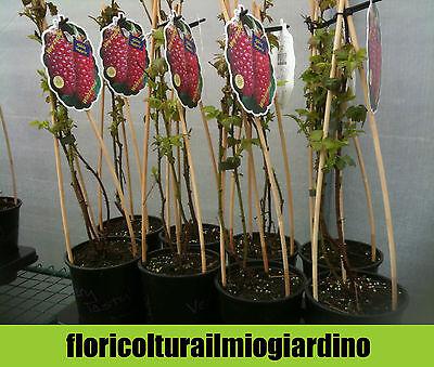 Piante di Tayberry - Incrocio Lampone/Rovo a frutto Rosso