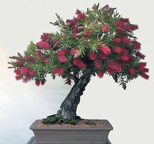 Callistemon Citrinus - The Crimson bottlebrush - 50 + fresca Bonsai Semillas