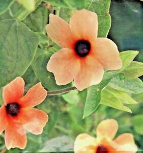 thunbergia alata black eyed susan african sunset 9 flower seeds buzzy5581 ebay