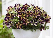 Petunia Grandiflora Hedgiflora Multiflora Color Mixed Stars