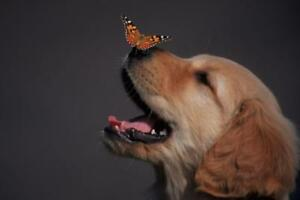 Golden-Retriever-With-Butterfly-On-His-Nose-Photo-Art-Print-Poster-24x36-inch