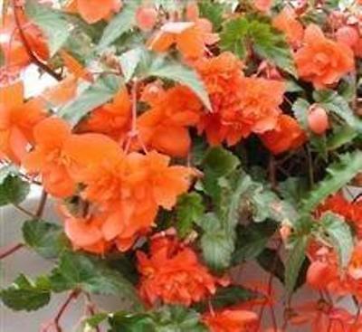Begonia - Skydiver Orange F1 - 100 Seeds